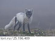 Купить «Arctic fox (Vulpes lagopus) mid moult from winter fur, standing in mist, Wrangel Island, Far Eastern Russia, June.», фото № 25196409, снято 25 мая 2019 г. (c) Nature Picture Library / Фотобанк Лори