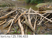 Купить «Dam of cut, gnawed logs built by Eurasian beavers (Castor fiber) to dam a stream, creating a pond within a large wet woodland enclosure, Devon, UK, March.», фото № 25196433, снято 28 января 2020 г. (c) Nature Picture Library / Фотобанк Лори