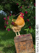 Купить «Buff Wyandotte rooster perched on antique wooden egg case in grass beside rose bush. Calamus, Iowa, USA.», фото № 25196481, снято 25 сентября 2018 г. (c) Nature Picture Library / Фотобанк Лори