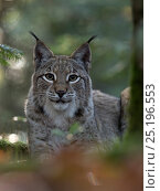 Купить «Eurasian lynx (Lynx lynx) portrait, Black Forest, Baden-Wurttemberg, Germany. November. April.  Captive.», фото № 25196553, снято 17 сентября 2018 г. (c) Nature Picture Library / Фотобанк Лори