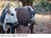Купить «Nguni cow with calf suckling, Richmond area, Northern Cape, South Africa, August.», фото № 25197013, снято 25 сентября 2018 г. (c) Nature Picture Library / Фотобанк Лори