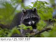 Купить «Raccoon (Procyon lotor) portrait in tree,  introduced species,  Black Forest, Baden-Wurttemberg, Germany. April.», фото № 25197197, снято 16 августа 2018 г. (c) Nature Picture Library / Фотобанк Лори
