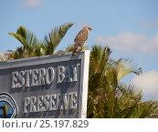 Купить «Red-tailed hawk (Buteo jamaicensis) on sign for Estero Bay Preserve, Florida, USA, February.», фото № 25197829, снято 16 сентября 2019 г. (c) Nature Picture Library / Фотобанк Лори