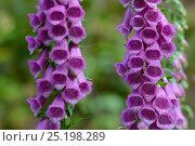 Купить «Purple foxglove (Digitalis purpurea) flowers, Vosges, France, June.», фото № 25198289, снято 22 июля 2018 г. (c) Nature Picture Library / Фотобанк Лори