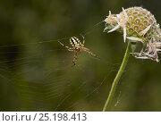 Купить «Orb weaver spider (Aculepeira ceropegia) Corfu, Greece, May.», фото № 25198413, снято 25 января 2020 г. (c) Nature Picture Library / Фотобанк Лори