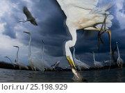 Купить «Great egret (Ardea alba) feeding on fish, Pusztaszer, Hungary, June.», фото № 25198929, снято 20 октября 2018 г. (c) Nature Picture Library / Фотобанк Лори