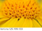 Купить «Mountain arnica (Arnica montana) close up of flower, Aubrac, Auvergne, France, July.», фото № 25199133, снято 26 июня 2019 г. (c) Nature Picture Library / Фотобанк Лори