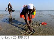 Women searching for shellfish at low tide, Orango Islands National Park, Orango Island, Guinea-Bissau, December 2013. Стоковое фото, фотограф Enrique Lopez-Tapia / Nature Picture Library / Фотобанк Лори