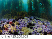 Red Sea Urchins (Stronglyocentrotus franciscanus) and Purple Sea Urchins (Stronglyocentrotus purpuratus) feeding on bottom algae and Giant kelp (Macrocystis... Стоковое фото, фотограф Brandon Cole / Nature Picture Library / Фотобанк Лори