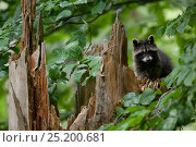 Купить «Raccoon (Procyon lotor) looking over fallen tree stump, introduced species, Black Forest, Baden-Wurttemberg, Germany. July.», фото № 25200681, снято 16 августа 2018 г. (c) Nature Picture Library / Фотобанк Лори