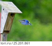 Купить «Eastern Bluebird (Sialia sialis) flying to nest box, Cape May, New Jersey, USA, May.», фото № 25201861, снято 19 августа 2018 г. (c) Nature Picture Library / Фотобанк Лори