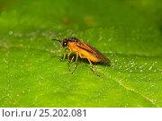 Купить «Wood Borer Sawfly (Athalia sp) Brockley cemetery, Lewisham, England, UK, June.», фото № 25202081, снято 16 октября 2019 г. (c) Nature Picture Library / Фотобанк Лори