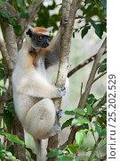 Tattersall's sifaka (Propithecus tattersalli), Daraine, Madagascar. Стоковое фото, фотограф Bernard Castelein / Nature Picture Library / Фотобанк Лори