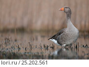Greylag Goose (Anser anser) Texel, the Netherlands, April. Стоковое фото, фотограф Bernard Castelein / Nature Picture Library / Фотобанк Лори