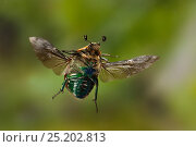 Купить «Euphoria beetle / Emerald euphoria (Euphoria fulgida) in flight, Central Texas, USA, March.», фото № 25202813, снято 19 января 2018 г. (c) Nature Picture Library / Фотобанк Лори
