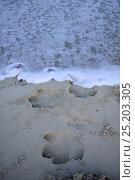 Hippo footprints (Hipopotamus amphibius) in the sand of a beach, Orango Island, Guinea-Bissau. Стоковое фото, фотограф Enrique Lopez-Tapia / Nature Picture Library / Фотобанк Лори