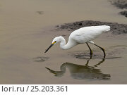 Купить «Snowy Egret (Egretta thula) feeding on small fish, Pantanal, Brazil», фото № 25203361, снято 14 июля 2020 г. (c) Nature Picture Library / Фотобанк Лори