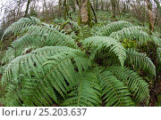 Купить «Wide angle view of Male Fern (Dryopteris filix-mas) with spreading rosette of fronds, growing in leafless deciduous woodland in Devon, UK, December 2013.», фото № 25203637, снято 26 апреля 2018 г. (c) Nature Picture Library / Фотобанк Лори