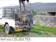 Купить «Chacma baboon (Papio hamadryas ursinus) problem male being released, East Sector, DeHoop Nat Res. Western Cape, South Africa.», фото № 25203753, снято 12 ноября 2019 г. (c) Nature Picture Library / Фотобанк Лори