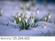 Купить «*** Snowdrops (Galanthus nivalis) in flower in snow, UK, February.», фото № 25204425, снято 26 мая 2019 г. (c) Nature Picture Library / Фотобанк Лори