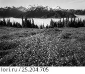 Купить «Black and white photograph of Glacier lilies (Erythronium grandiflorum) on High Divide in Olympic National Park, Washington, USA.», фото № 25204705, снято 23 мая 2018 г. (c) Nature Picture Library / Фотобанк Лори