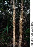 Купить «New Caledonian Bumpy Gecko (Rhacodactylus auriculatus) in habitat, camouflaged on tree trunk, New Caledonia, endemic.», фото № 25205197, снято 22 ноября 2017 г. (c) Nature Picture Library / Фотобанк Лори