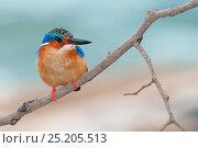 Купить «Madagascar Kingfisher (Alcedo vintsioides) perched on branch, Ankify, Madagascar», фото № 25205513, снято 19 июля 2019 г. (c) Nature Picture Library / Фотобанк Лори