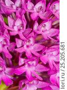 Купить «Pyramidal orchid (Anacamptis pyramidalis) Ferla, Sicily, Italy, April.», фото № 25205681, снято 23 июля 2018 г. (c) Nature Picture Library / Фотобанк Лори