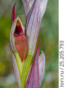 Купить «Small-flowered Tongue Orchid (Serapias parviflora)  Gargano near Lago di Varano, Puglia, Italy, April.», фото № 25205793, снято 20 февраля 2018 г. (c) Nature Picture Library / Фотобанк Лори