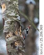 Купить «White-backed Woodpecker (Dendrocopos leucotos leucotos) male pecking birch trunk, central Finland, January.», фото № 25206969, снято 17 августа 2018 г. (c) Nature Picture Library / Фотобанк Лори