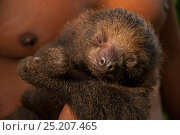 Two toed sloth (Choloepus hoffmanni) held by man. Pilpintuwasi Animal Orphanage, Padre Cocha, Iquitos, Peru. Стоковое фото, фотограф Mark Bowler / Nature Picture Library / Фотобанк Лори