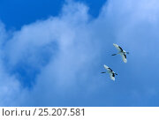 Two Red-crowned cranes (Grus japonensis) in flight, Japan. Стоковое фото, фотограф Tim Laman / Nature Picture Library / Фотобанк Лори