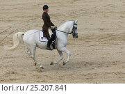 Купить «Rider from the Spanish Riding School on a Lipizzaner stallion performing dressage movements, Annual Autumn Parade, Piber Federal Stud, Maria Lankowitz...», фото № 25207841, снято 11 декабря 2017 г. (c) Nature Picture Library / Фотобанк Лори