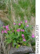 Купить «Red Campion (Silene dioica) in flower, Shetland Islands, Scotland, UK, May.», фото № 25207977, снято 19 февраля 2019 г. (c) Nature Picture Library / Фотобанк Лори