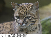 Купить «Geoffroy's cat (Leopardus geoffroyi), captive, native to South America.», фото № 25209681, снято 4 августа 2020 г. (c) Nature Picture Library / Фотобанк Лори