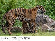 Купить «Juvenile Sumatran tiger (Panthera tigris sumatrae), aged four months, suckling from its mother, captive, occurs in Sumatra, Indonesia», фото № 25209829, снято 21 сентября 2018 г. (c) Nature Picture Library / Фотобанк Лори