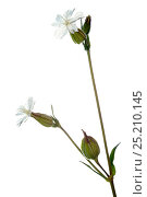 Купить «White campion (Silene latifolia) Germany, Meetyourneighbours.net project», фото № 25210145, снято 21 июля 2018 г. (c) Nature Picture Library / Фотобанк Лори