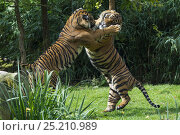 Купить «Sumatran tigers (Panthera tigris sumatrae) fighting, captive, native to Sumatra, Indonesia.», фото № 25210989, снято 20 февраля 2020 г. (c) Nature Picture Library / Фотобанк Лори