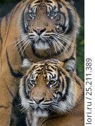 Купить «Male and female Sumatran tigers (Panthera tigris sumatrae), captive, native to Sumatra, Indonesia», фото № 25211389, снято 20 февраля 2020 г. (c) Nature Picture Library / Фотобанк Лори