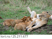 Купить «Lion (Panthera leo), cubs suckling, Masai Mara National Reserve, Kenya, Africa.», фото № 25211677, снято 18 октября 2019 г. (c) Nature Picture Library / Фотобанк Лори