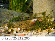 Купить «Three-spined stickleback (Gasterosteus aculeatus), male building his nest, Espai Natural Les Gavarres, Baix Emporda, Catalonia, Spain, captive.», фото № 25212205, снято 8 мая 2020 г. (c) Nature Picture Library / Фотобанк Лори