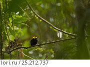 Купить «Adult male Golden-headed Manakin (Pipra erythrocephala) perched in the canopy. Tiputini Biodiversity Station, Amazon Rainforest, Ecuador, January.», фото № 25212737, снято 25 апреля 2019 г. (c) Nature Picture Library / Фотобанк Лори