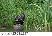 Купить «Raccoon dog (Nyctereutes procyonoides ussuriensis) invasive species, native to eastern Siberia, Pirkanmaa, Finland, July.», фото № 25212897, снято 16 августа 2018 г. (c) Nature Picture Library / Фотобанк Лори