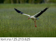 Купить «White stork (Ciconia ciconia) in flight, Marais breton, Brittany / Bretagne, France, May.», фото № 25213625, снято 16 февраля 2019 г. (c) Nature Picture Library / Фотобанк Лори