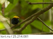 Купить «Male Golden-headed Manakin (Pipra erythrocephala) at a canopy perch. Tiputini Biodiversity Station, Amazon Rainforest, Ecuador, January.», фото № 25214081, снято 26 марта 2019 г. (c) Nature Picture Library / Фотобанк Лори