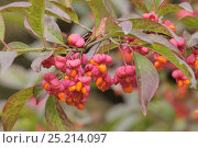 Купить «Spindle (Euonymus europaeus) 'Red Cascade' close up of berries, England, UK, October.», фото № 25214097, снято 24 января 2018 г. (c) Nature Picture Library / Фотобанк Лори