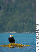 Купить «Bald eagle (Haliaeetus leucocephalus) on rock removing Mew gull's (Larus canus) feathers before feeding, Knight Inlet, Vancouver Island, British Columbia, Canada, July.», фото № 25214145, снято 22 июня 2018 г. (c) Nature Picture Library / Фотобанк Лори