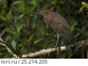 Купить «Rufescent Tiger Heron (Tigrisoma lineatum) along Anangu creek in Yasuni National Park, Orellana Province, Ecuador, July.», фото № 25214205, снято 14 июля 2020 г. (c) Nature Picture Library / Фотобанк Лори