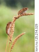 Купить «Harvest mice (Micromys minutus), captive, UK, June», фото № 25214329, снято 18 августа 2018 г. (c) Nature Picture Library / Фотобанк Лори