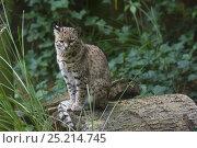 Купить «Geoffroy's cat (Leopardus geoffroyi), captive, native to South America.», фото № 25214745, снято 22 июля 2019 г. (c) Nature Picture Library / Фотобанк Лори
